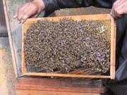 密蜂在耕耘