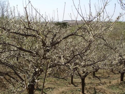 李子树从小长大开花到结果,施肥,浇水,剪枝修整,就象一个刚刚出生的嘤