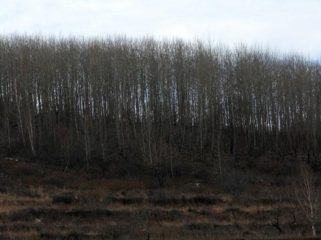 精品群团 万水千山  山坡的次生杨树林 登录/注册后可查看大图 杨树