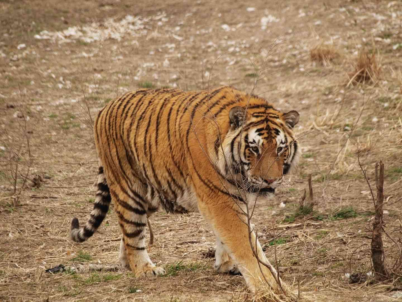 [原创]两只老虎