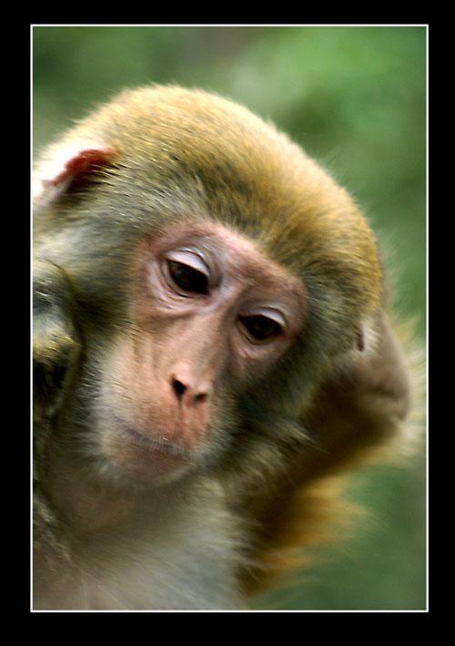 动物摄影-1[ 猴头像 ]
