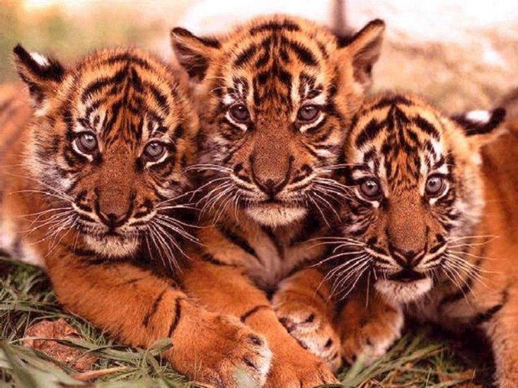 虎!虎!虎!